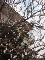 Sakura_casa